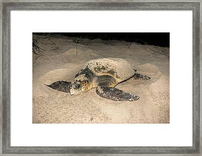 Loggerhead Turtle Covering Its Nest Framed Print
