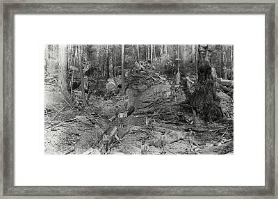 Logging A Redwood Hillside C. 1880 Framed Print