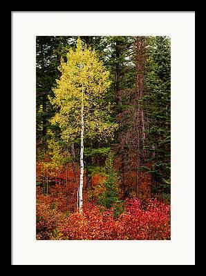 Aspens In Fall Framed Prints