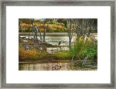 Lone Blue Heron In Fall Framed Print by Kimberleigh Ladd