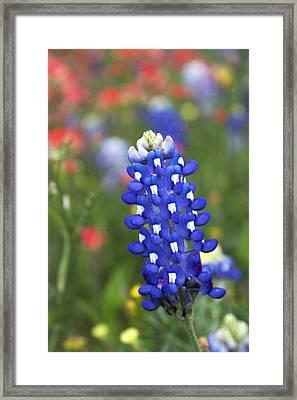 Lone Bluebonnet Framed Print