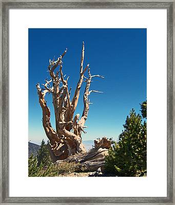 Framed Print featuring the photograph Lone Bristlecone by Alan Socolik