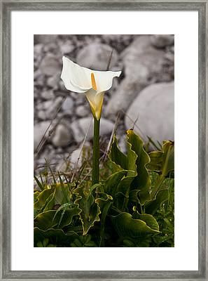 Lone Calla Lily Framed Print by Melinda Ledsome