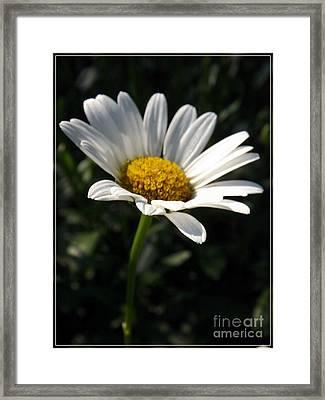 Lone Daisy Framed Print by Sara  Raber