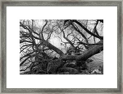 Framed Print featuring the photograph Lone Duck by Colleen Williams
