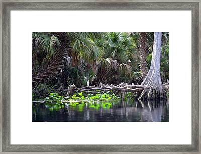 Lone Egret Framed Print by Bob Jackson