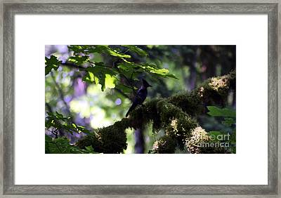 Lone Forest Jay Framed Print