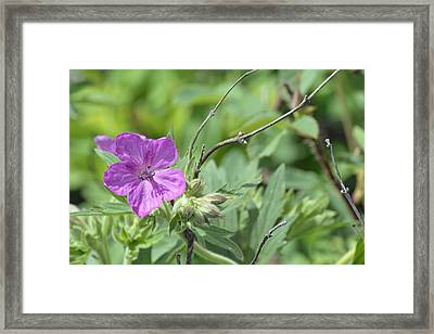 Lone Geranium In Yellowstone Framed Print by Bruce Gourley