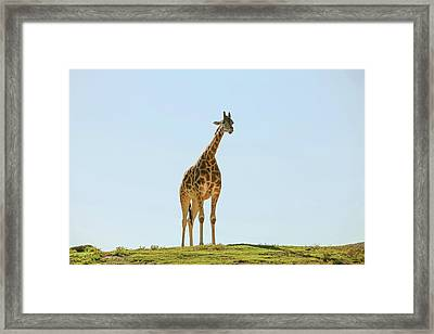 Lone Giraffe Framed Print by Daniela Duncan