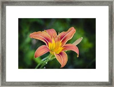 Framed Print featuring the photograph Lone Lily by Bradley Clay