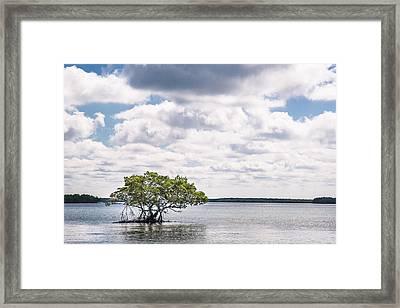 Lone Mangrove Framed Print by Adam Pender