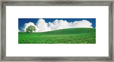 Lone Oak Tree In Vineyard Near Paso Framed Print by Panoramic Images