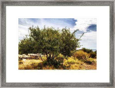 Lone Olive Tree Framed Print by Georgia Fowler