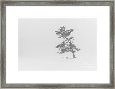 Lone Pine Tree In A Blizzard Framed Print by Benjamin Williamson