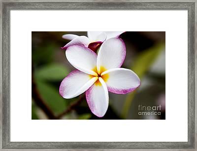 Lone Plumeria Framed Print by Thanh Tran