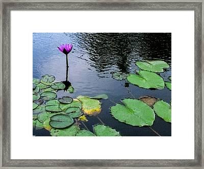 Lone Pond Lily Framed Print