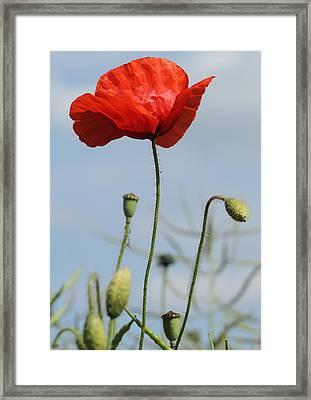 Lone Poppy Framed Print