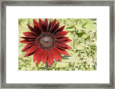 Lone Red Sunflower Framed Print by Kerri Mortenson