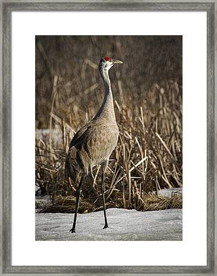 Lone Sandhill Crane 1 Framed Print by Thomas Young