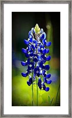 Lone Star Bluebonnet Framed Print