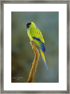 Lone Star - Nanday Conure Framed Print