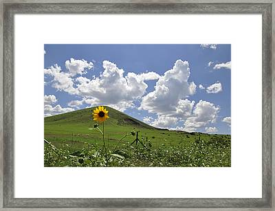 Lone Sunflower Framed Print