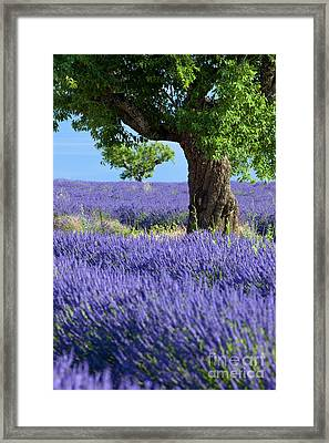 Lone Tree In Lavender Framed Print by Brian Jannsen