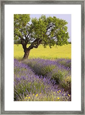 Lone Tree In Lavender Field Framed Print by Brian Jannsen