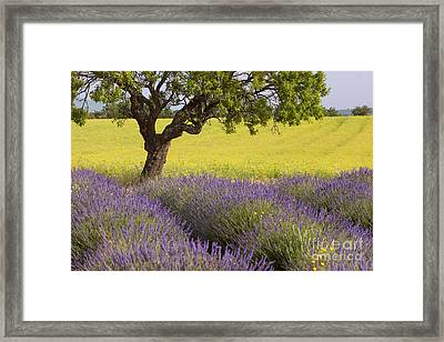 Lone Tree In Provence Framed Print by Brian Jannsen