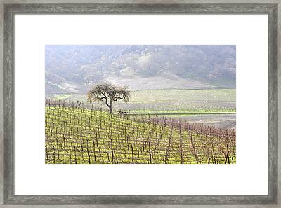 Lone Tree In The Vineyard Framed Print by AJ  Schibig