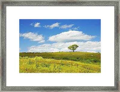 Lone Tree With Blue Sky In Blueberry Field Maine Photograph  Framed Print