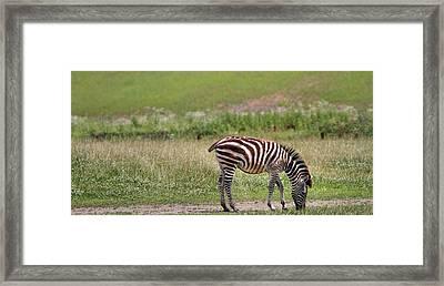 Lone Zebra Framed Print by Dan Sproul