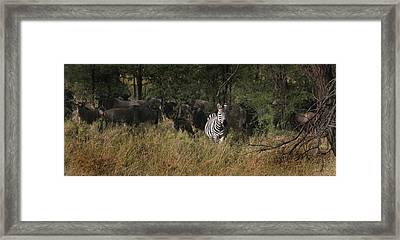 Framed Print featuring the photograph Lone Zebra by Joseph G Holland