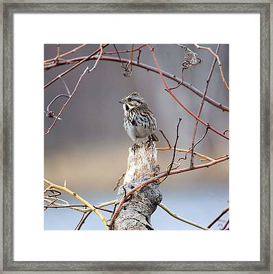 Lonely Sparrow Framed Print by Martin Goldenberg