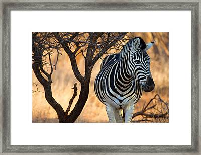 Lonely Zebra Framed Print by Phil Stone