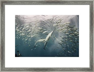 Long-beaked Common Dolphins Hunting Framed Print by Pete Oxford