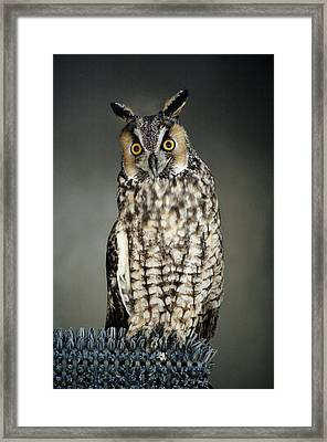 Long-eared Owl Framed Print by Paulette Thomas