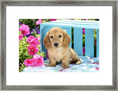 Long Eared Puppy In Front Of Blue Box Framed Print by Greg Cuddiford