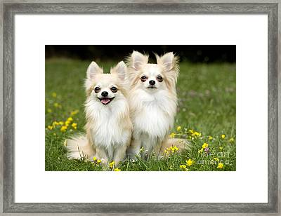 Long-haired Chihuahuas Framed Print by Jean-Michel Labat