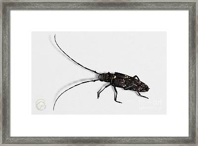Long-hornded Wood Boring Beetle Monochamus Sartor - Coleoptere Monochame Tailleur - Framed Print
