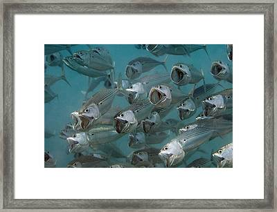 Long-jawed Mackerel Foraging Red Sea Framed Print