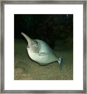 Long Nose Fish Framed Print by Sara  Raber