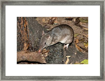 Long-nosed Potaroo Framed Print by Louise Murray