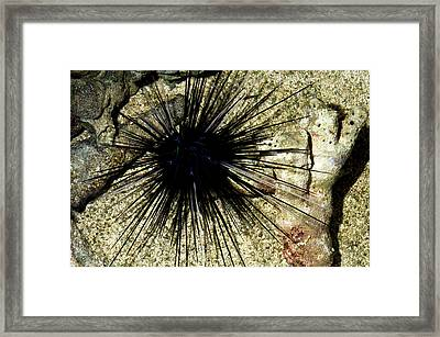 Long-spined Sea Urchin Framed Print by Nigel Downer