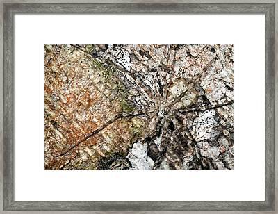 Long-spinnered Bark Spider Framed Print