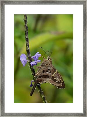 Long Tail Skipper Framed Print by Julie Cameron