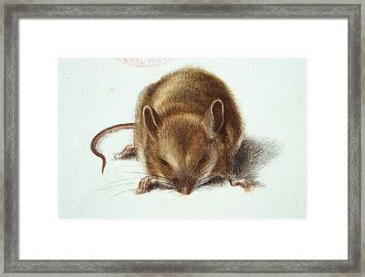 Long-tailed Field Mouse Framed Print