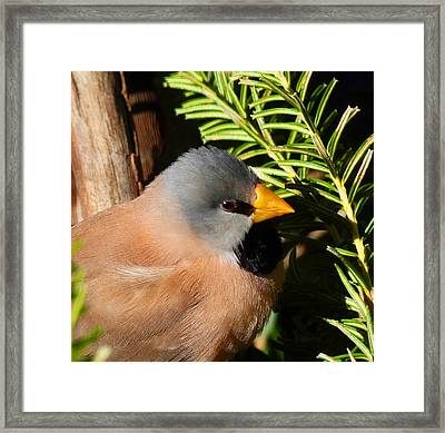 Long-tailed Finch Framed Print by Margaret Saheed