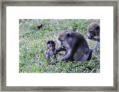 Framed Print featuring the photograph Long Tailed Macaque Family by Shoal Hollingsworth