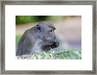 Framed Print featuring the photograph Long Tailed Macaque Feeding by Shoal Hollingsworth
